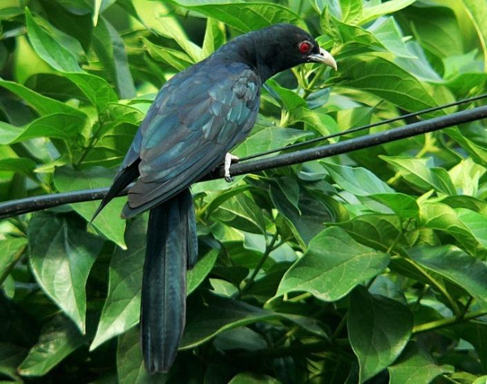 Kokila,Koel,Indian Nightingale,Eudynamys scolopacea