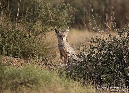 Vulpes bengalensis - Indian Fox