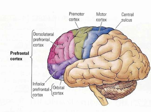 BRAIN AREAS - GENERATION OF THOUGHT - VOCALIZATION OF THOUGHT.