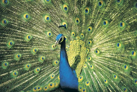 """Neela KantaH"" or Pavo cristatus, family Phasianidae, a large pheasant with a metallic blue green body; the male is celebrated for its beauty and is endowed with strong ""CROWING"" voice."