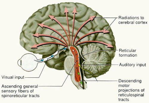 "Brain Stem Reticular Formation shown as a red band in the image represents an integrative focus of consciousness functioning through its widespread interconnections with the Cerebral Cortex and other regions of the Brain. It functions to compose the contents of consciousness that would be revealed as Cortical Awareness. Reticular Formation describes ""The Capacity of Consciousness"" and without this function the contents of consciousness( or cortical awareness) will not be known to the individual."