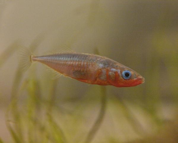 Spiritualism-The Colors of Life: What is Color? The purpose of color could be that of promoting reproductive success. A male, marine Stickleback, tiny Bony Fish( 3 to 10 cms long) in reproductive condition with complete armour plates develops special red coloration to attract its mate during breeding season.