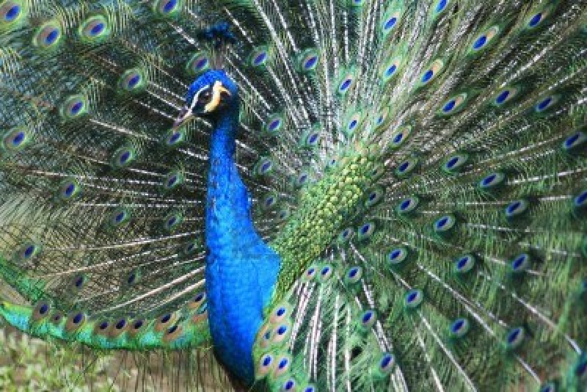 Whole Dude-Whole Colors: Display Coloration. Peacock, the male peafowl(Pavo cristatus) displays a stunningly beautiful array of colors to attract the attention of female.