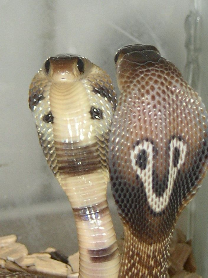 The Images of Spiritualism: Naja naja. The Indian snake Cobra with warning coloration on its hood.