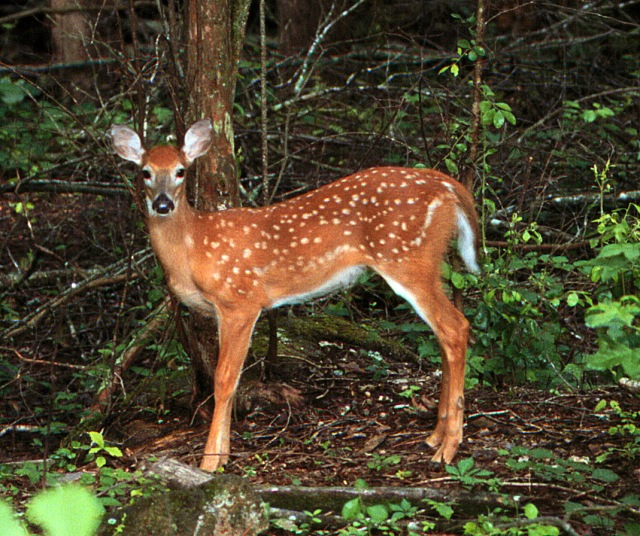 Spiritualism in Images: Concealing and Protective Coloration - Shadow pattern - Odocoileus virginianus - Mottling of the fawn's coat.