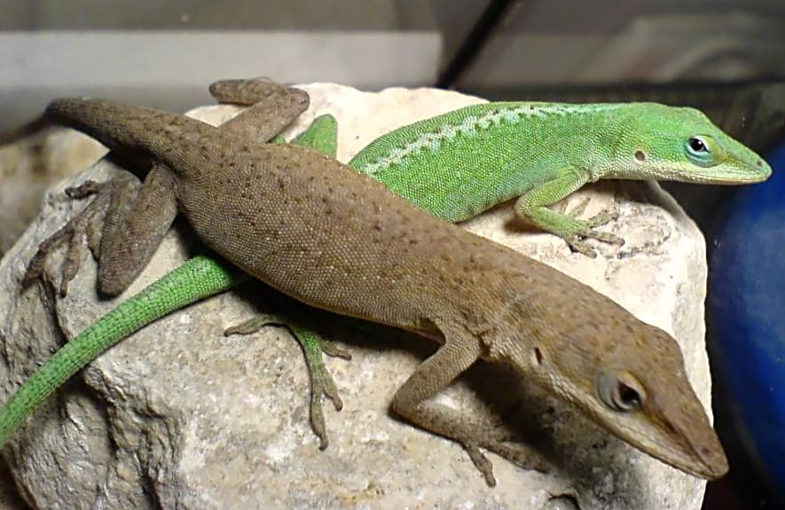 Spiritualism in Images: Adaptive Coloration. Anolis carolinensis can gradually change its coloration from green to brown to match its background.