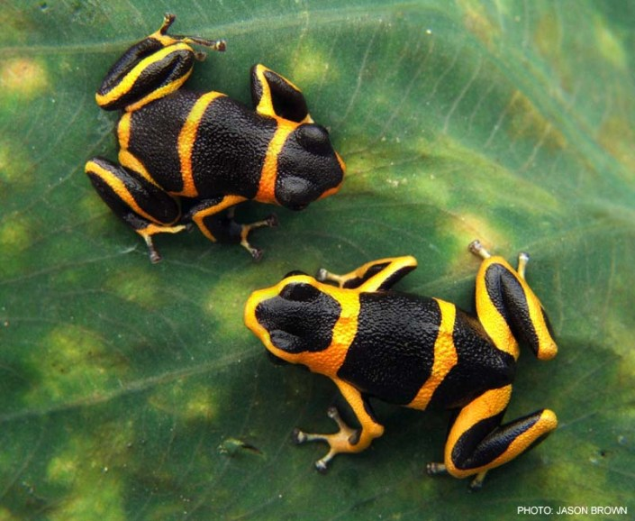 Spiritualism in Images: Warning Coloration. Yellow and black markings on  Poison frogs. Mimic of Ranitomeya summersi.