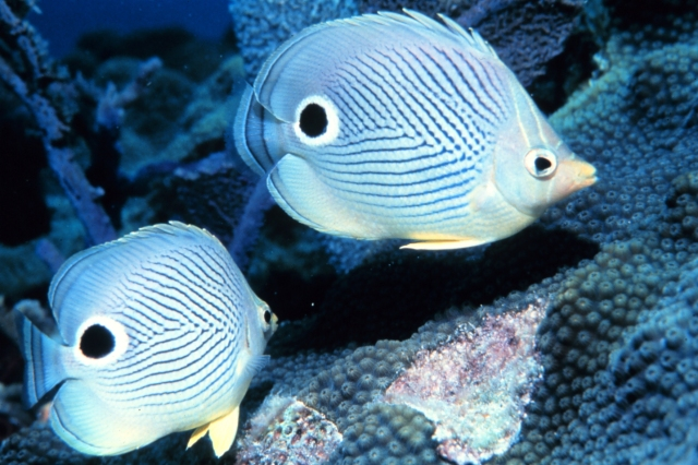 Spiritualism in Images - Protective Coloration. Startle Markings. False eye. Butterfly fish. Chaetodon capistratus.
