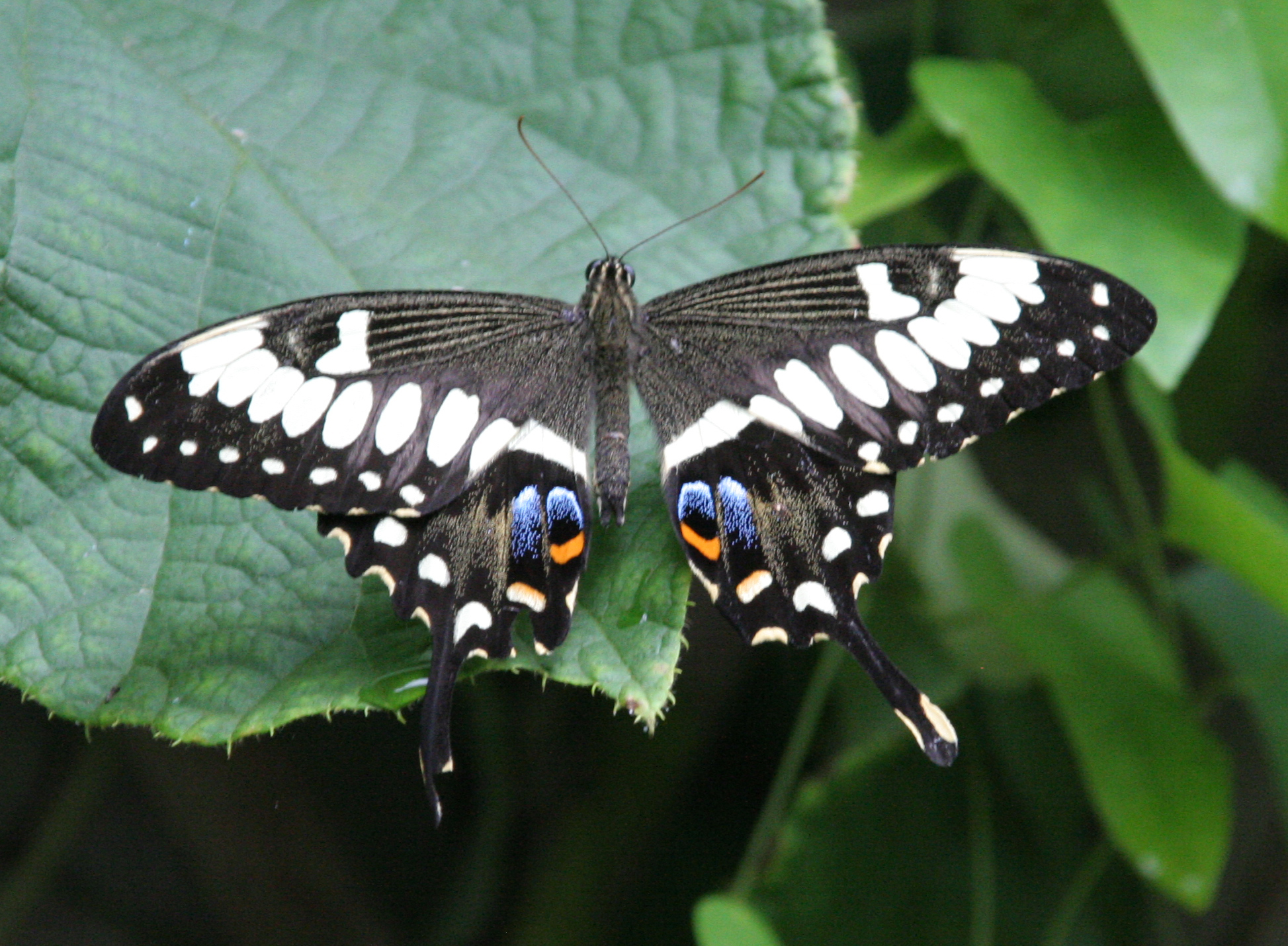 Spiritualism in Images: Concealing Coloration. Black Swallowtail Butterfly - Papilio.