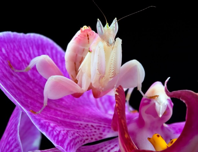 Spiritualism in Images: Concealing Coloration. Orchid Mantis of Malay peninsula. Hymenopus coronatus.