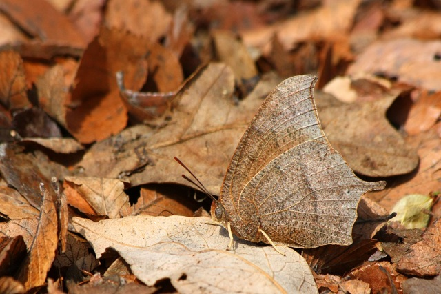 Spiritualism in Images: Concealing Coloration - Leaf Butterfly - Anaea