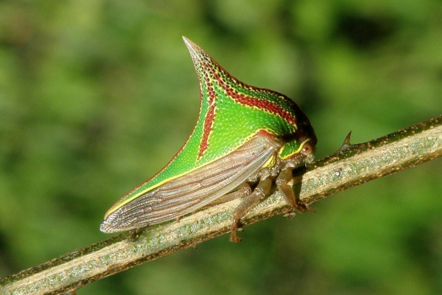 Spiritualism in Images: Concealing Coloration. Thorn treehopper - Umbonia spinosa.