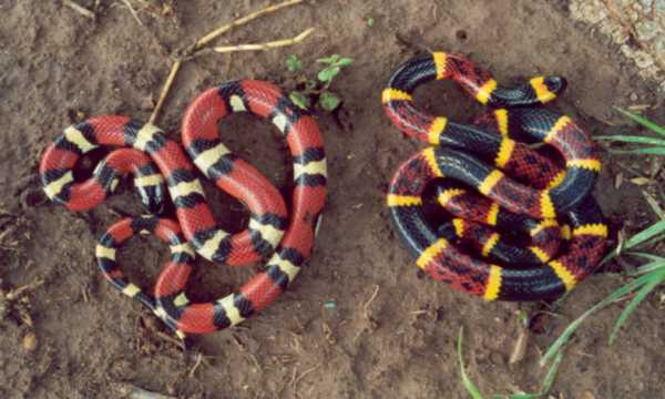 Spiritualism in Images. Batesian Mimicry. Non-venomous Scarlet King snake mimicking of the venomous Coral snake. Both have colored rings encircling their bodies. Coral snake has black-yellow-red-yellow ring order, and Scarlet snake has black-yellow-black-red ring order. Its predator has no perfect discrimination ability and gets easily confused about its identity.