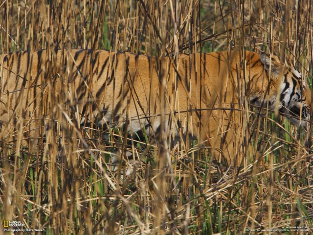 Spiritualism in Images: Concealing and Disruptive Coloration of Tiger.