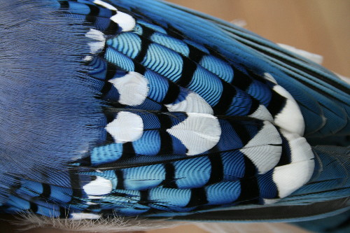 WholeDude-WholeDesign: The blue color of Blue Jay, Cyanocitta cristata could be explained as Tyndall Effect.