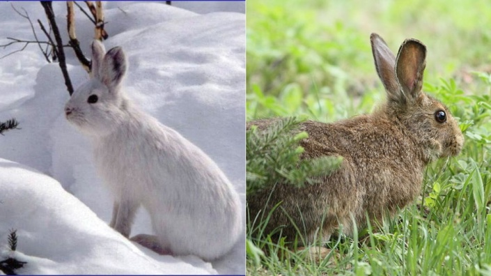 WholeDude - WholeDesigner - Photoperiodism: The seasonal change in coat is conspicuous in this hare which is brown during Spring and Summer, and changes to white during Autumn, and Winter.