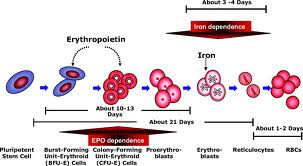 WholeDude - WholeDesigner - Red Blood Cell: Erythropoiesis. Red Blood Cells are formed in the bone marrow. Hemoglobin Synthesis begins during yhe Proerythroblast stage of the RBC Cycle. Heme synthesis takes place in the mitochondria and the protein, globin molecule is synthesized in ribosomes. The mature Red Cells have no nuclei, and no intracellular organelles like the mitochondria and the ribosomes.