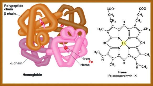 WholeDesigner-Hemoglobin