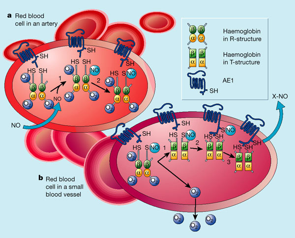 WholeDude - WholeDesigner - Red Blood Cell: The Red Cell apart from delivering oxygen, plays a role in the regulation of blood flow.