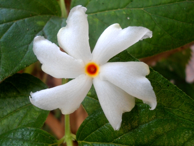 WholeDude - WholeDesigner - WholeMagic: Nyctanthes arbor - tristis, Night Jasmine. In Indian tradition, a legend describes that this tree was stolen from a celestial garden and was planted on earth to provide the pleasure of enjoying its fragrant flowers to Lord Krishna's queen.