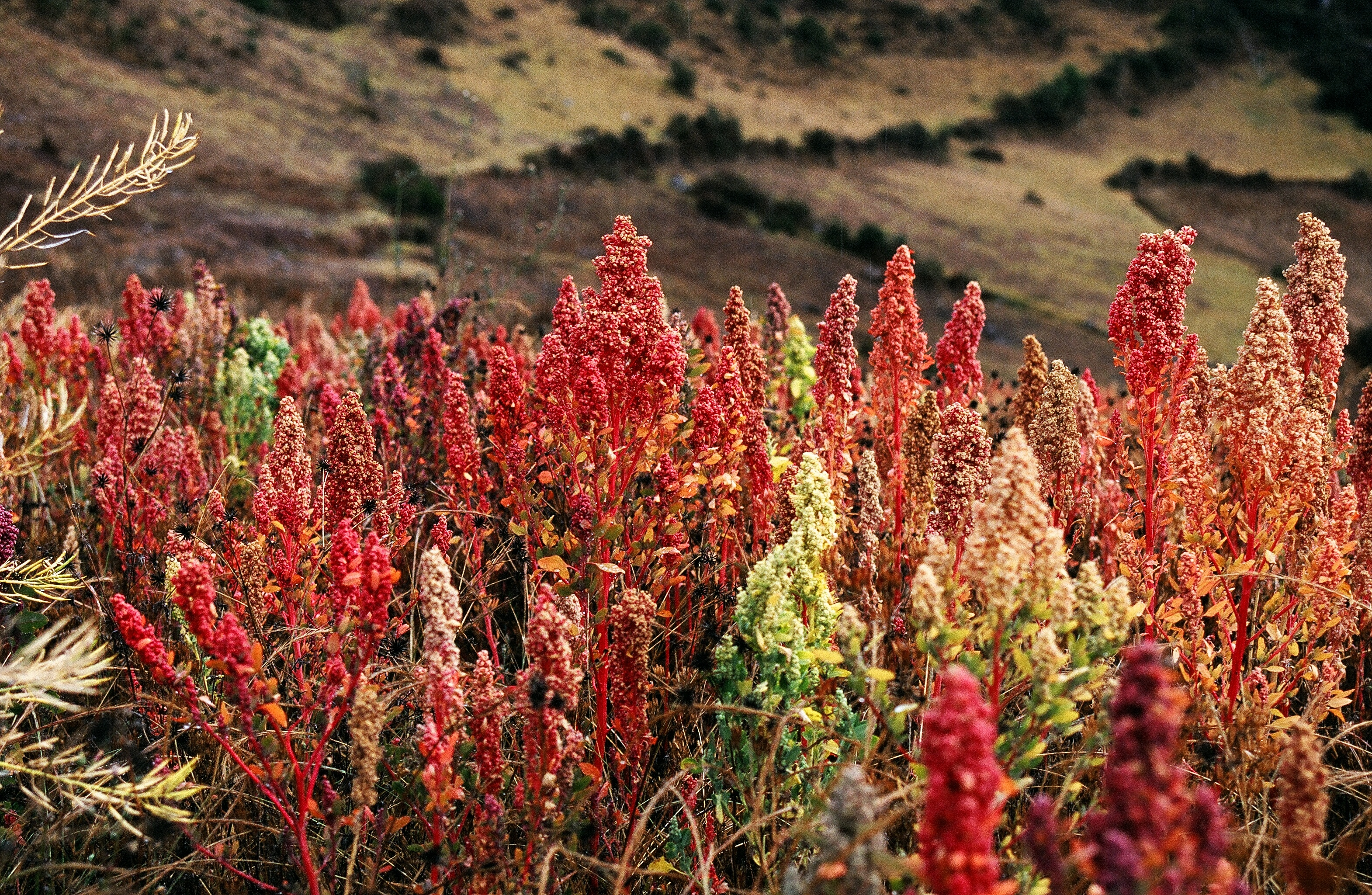 WholeDude - WholeDesigner - WholeMagic: Chenopodium quinoa. The seeds when boiled release Seminous odor and it is very remarkable coincidence between the odor generated by a plant and the glands of human male reproductive system