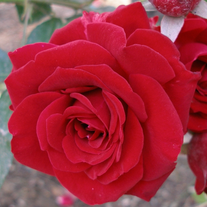 WholeDude - WholeDesigner - WholeMagic: The sweet floral fragrance of Rose is known to man since prehistoric times. It is a favorite flower in many lands.