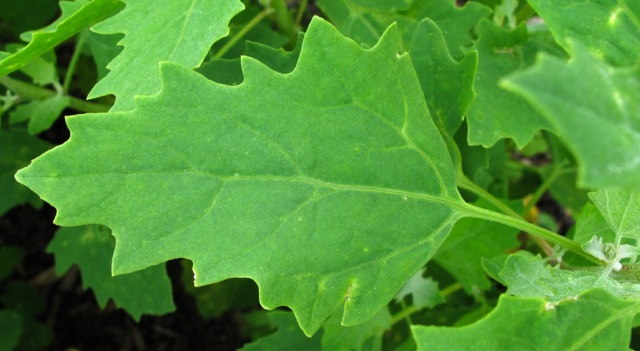 WholeDude - Whole Designer - Phytochemistry: Chenopodium quinoa belongs to the Goosefoot family called Chenopodiaceae, Order Caryophyllales, dicotyledonous plants including Chard, Spinach, and Beets. The leaf may have some resemblance to a Goose Foot.