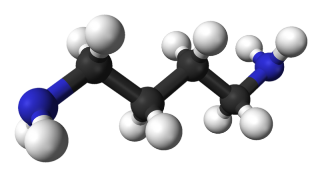 WholeDude - WholeDesigner - Phytochemistry: Diamine, any of a group of chemical compounds containing two NH radicals, or double amino groups. Putrescine, 1,4-Diaminobutane is a foul-smelling organic chemical compound often produced by the breakdown of amino acids.