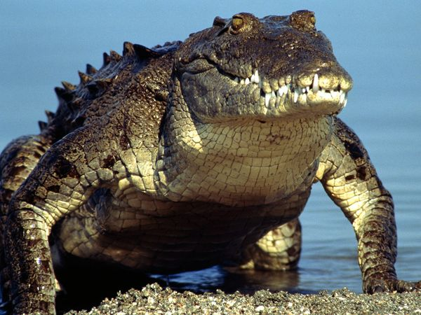 SPIRITUALITY SCIENCE - AGING AND LONGEVITY: CROCODILES ARE LARGE AMPHIBIOUS REPTILES THAT ORIGINATED DURING THE LATE TRIASSIC PERIOD, 200 MILLION YEARS AGO. DURING THE CRETACEOUS PERIOD, ABOUT 120 MILLION YEARS AGO, LARGE CROCODILES(40 FEET OR MORE) THAT EXISTED MAY HAVE PREYED ON DINOSAURS.