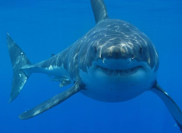 SPIRITUALITY SCIENCE - AGING AND LONGEVITY: THE WHITE SHARK, CARCHARODON CARCHARIAS, ONE OF ABOUT 350 SPECIES OF CARTILAGINOUS FISHES. SHARKS ARE REMARKABLY SUCCESSFUL ANIMALS WITH FEW PARASITES OR DISEASES AND ALMOST NO ENEMIES EXCEPT OTHER SHARKS. THEY ARE LIVING ALMOST UNCHANGED FOR ABOUT 350 MILLION YEARS SINCE THE END OF THE DEVONIAN PERIOD.