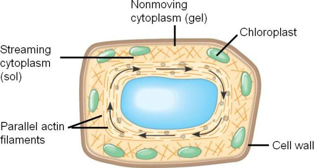 WHOLE COOKIE - LOVE IS A FUNDAMENTAL FORCE: THE LIVING MATTER CALLED PROTOPLASM OR CYTOPLASM EXISTS IN TWO PHYSICAL CONDITIONS, 1. GELATINOUS, AND 2. SEMIFLUID, COMPLEX SOLUTION(SOL). IN A PLANT CELL, WE CAN EASILY OBSERVE THE STREAMING MOVEMENT OF CYTOPLASM(SOL).