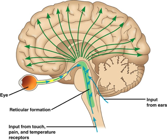 "SPIRITUALITY SCIENCE - THE KNOWER - THE KNOWING-SELF : IN THIS IMAGE OF HUMAN BRAIN, THE GREEN PORTION OF BRAIN STEM IS CALLED RETICULAR FORMATION. I AM PROPOSING TO CALL IT AS THE KNOWING-SELF AND IT IS THE ""KNOWER"" OF THE HUMAN BODY WHICH CONSTANTLY CHANGES ITS MORPHOLOGICAL APPEARANCE UNDER THE INFLUENCE OF TIME CALLED THE AGING PROCESS."
