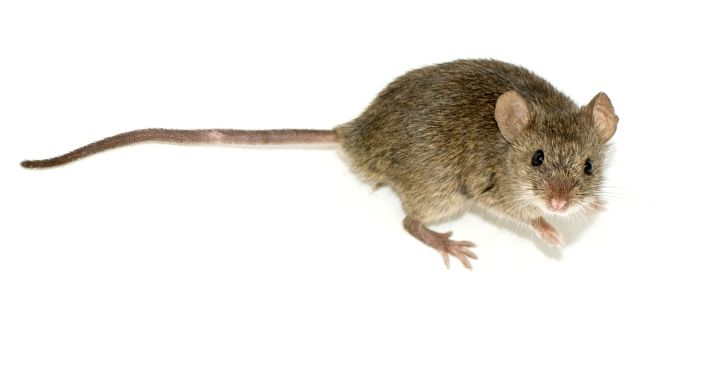 WHOLE TEAM - WHOLE COOKIE - WHOLE CHALLENGE : THE CAT AND THE MOUSE GAME. THE COMMON HOUSE MOUSE OR MUS MUSCULUS IS QUIET, SHY, TIMID, SLY, AND STEALTHY IN ITS HABITS. IT MOVES UNDER THE COVER OF DARKNESS AND FINDS FOOD USING CLUES LIKE SCENT AND SMELL RATHER THAN VISION.