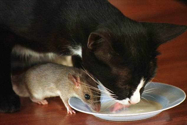 WHOLE TEAM - WHOLE COOKIE - WHOLE CHALLENGE : THE GREAT CAT AND THE MOUSE GAME. THE MILK OF KINDNESS CAN BRING THE CAT AND THE MOUSE TO LIVE TOGETHER IN PEACE, AND HARMONY. THIS PHOTO IMAGE IS FROM PICHIT, THAILAND, WHERE OUAN THE CAT AND TUA LEK THE FIELD MOUSE ARE THE PETS OF A COFFEE-SELLER.
