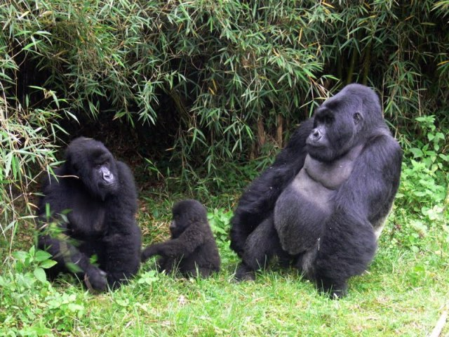 MENDEL'S  LAWS  OF  INHERITANCE  VS  HUMAN  EVOLUTION :  MOUNTAIN  GORILLA  IS  NOT  THE  MISSING  LINK  BETWEEN  MAN  AND  ANIMAL .
