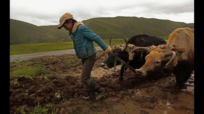 TIBET AWARENESS - TIBET'S ROAD TO MARTYRDOM. FIELD WORKER NEAR ABA, SICHUAN.